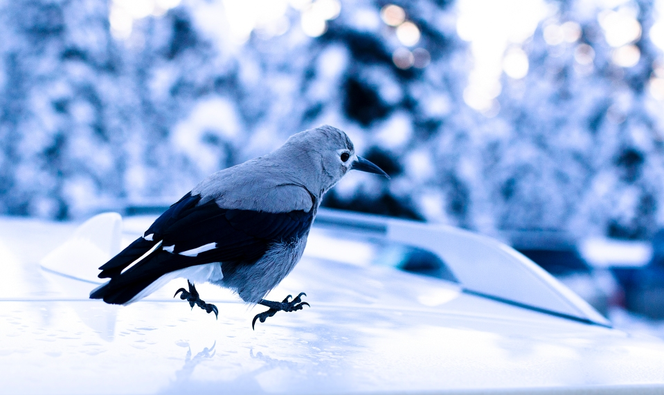 A bird runs along the roof of a car in Lake Louise Alberta Canada.