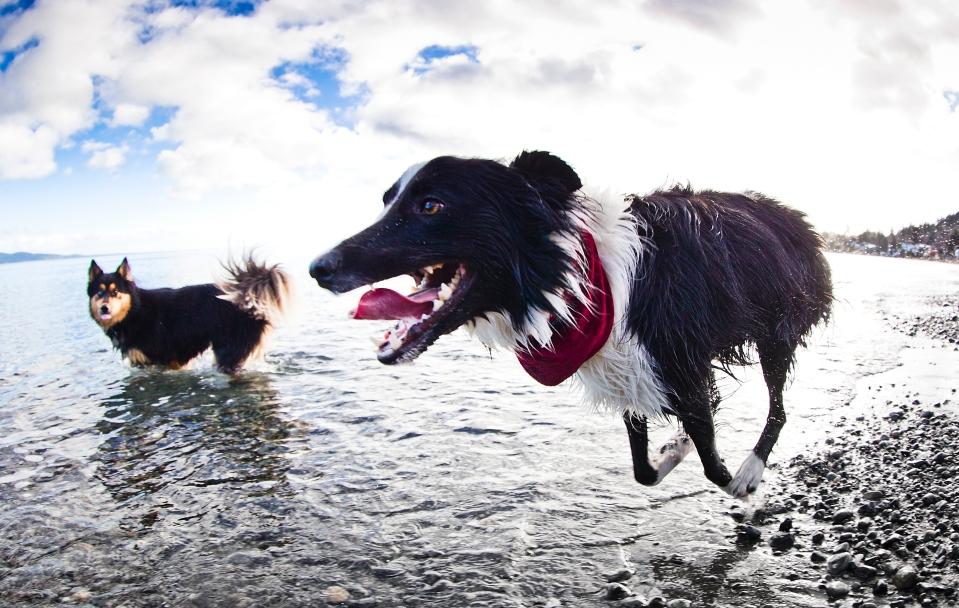 Two dogs run along the beach.